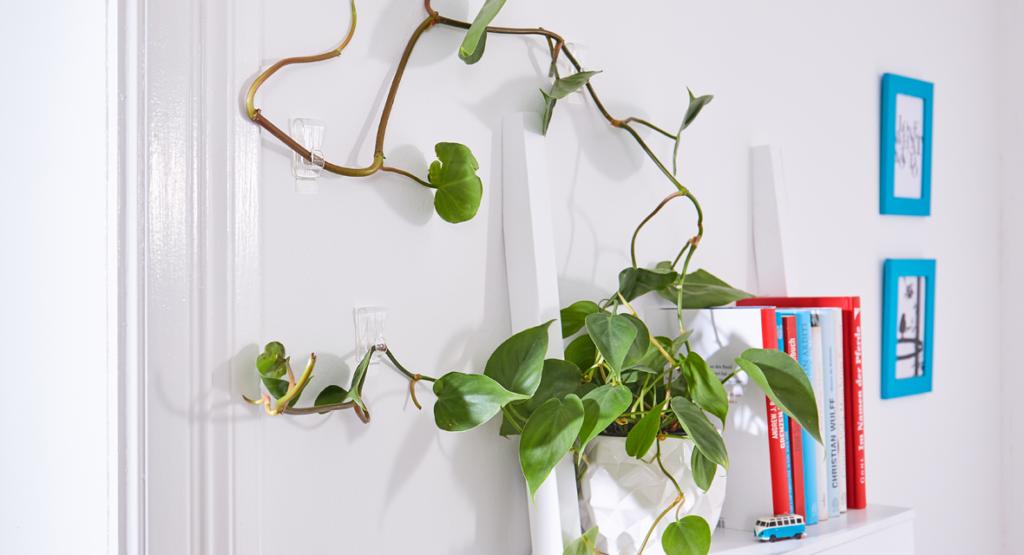 Kletterpflanze mit Klebehaken an der Wand befestigen