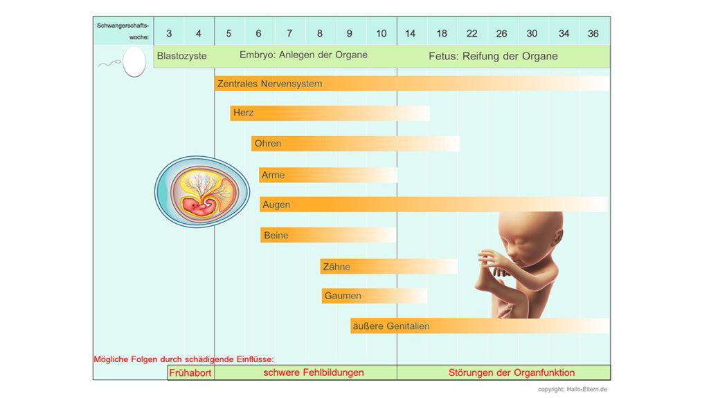 Fetale Organentwicklung Woche für Woche